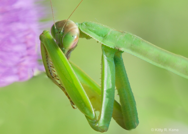 Shy Praying Mantis