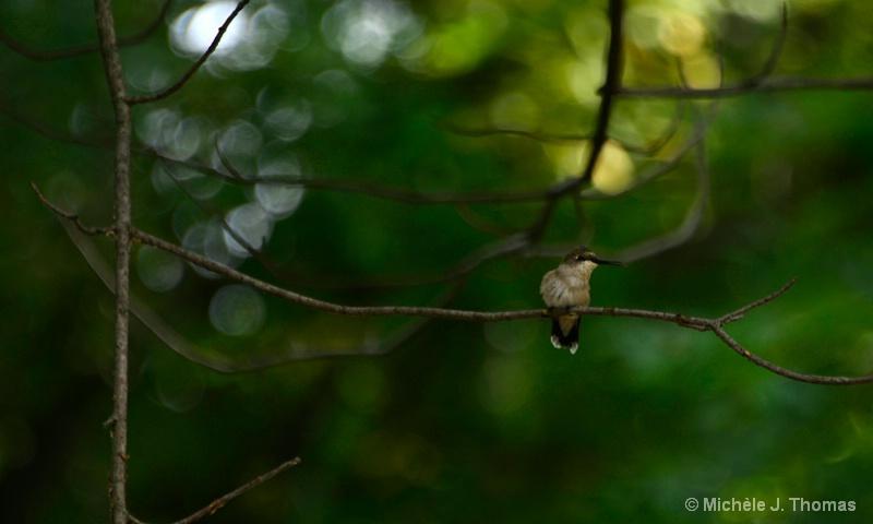 Hummingbird In My Backyard!!