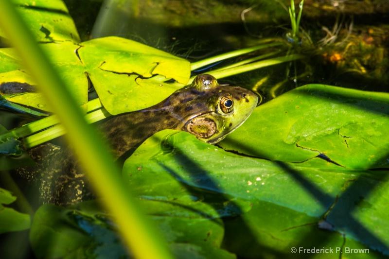 One Big Frog -2522