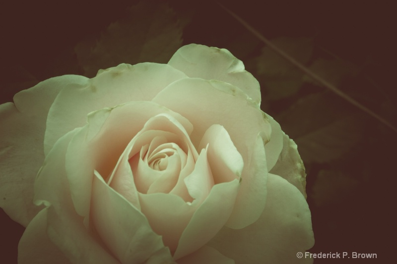 Soft Rose-166