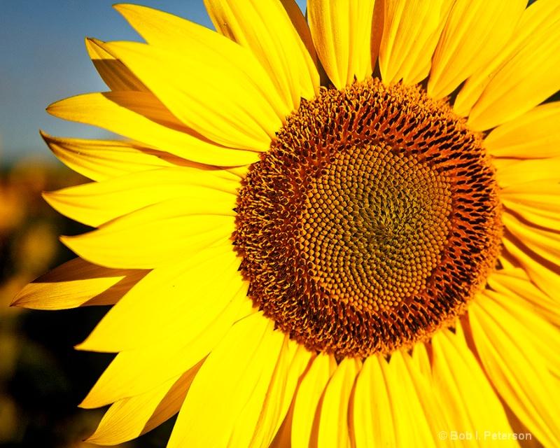 Sunflower, up close