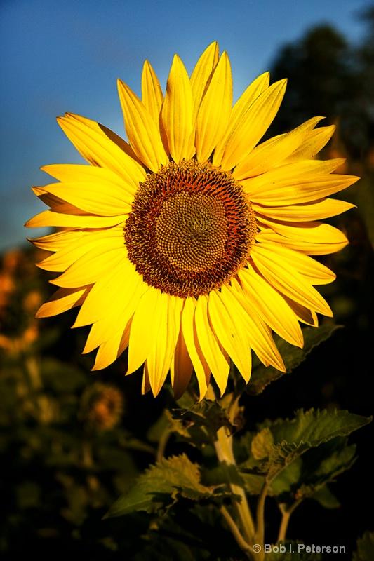 Sunflower poses