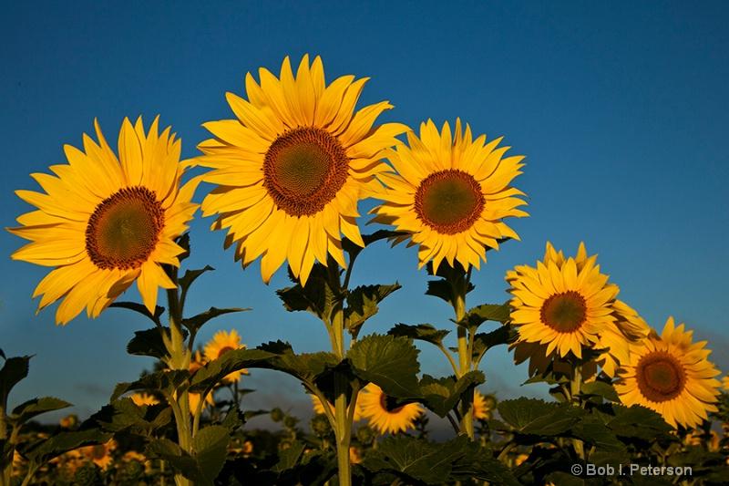 Sunflowers lineup