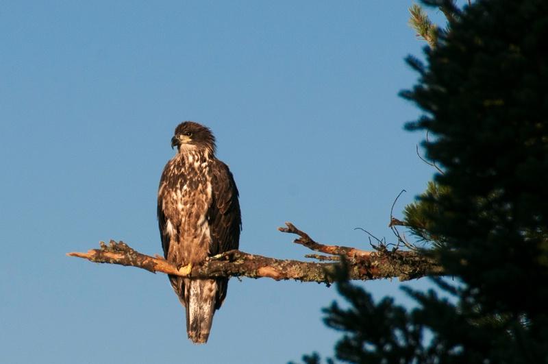 Eaglet-2