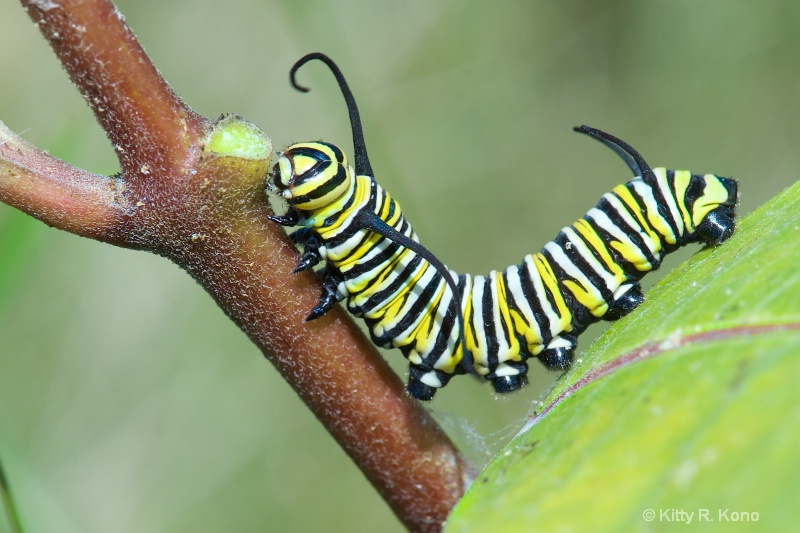 Where Monarch Butterflies Come From