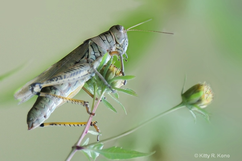 One Huge Grasshopper