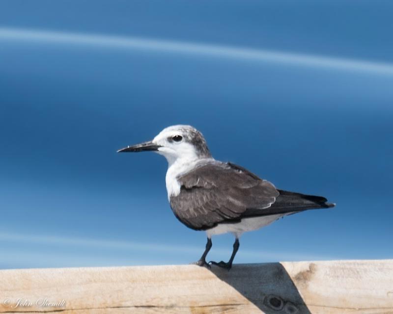 Bridled Tern - Aug 29th, 2015