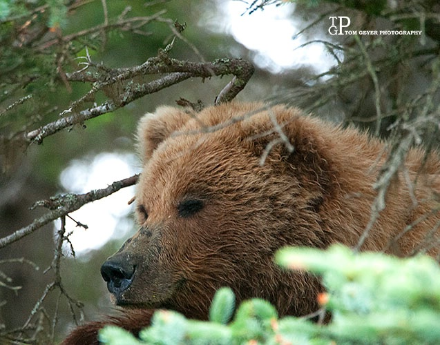 Who says Grizzly's don't climb trees?