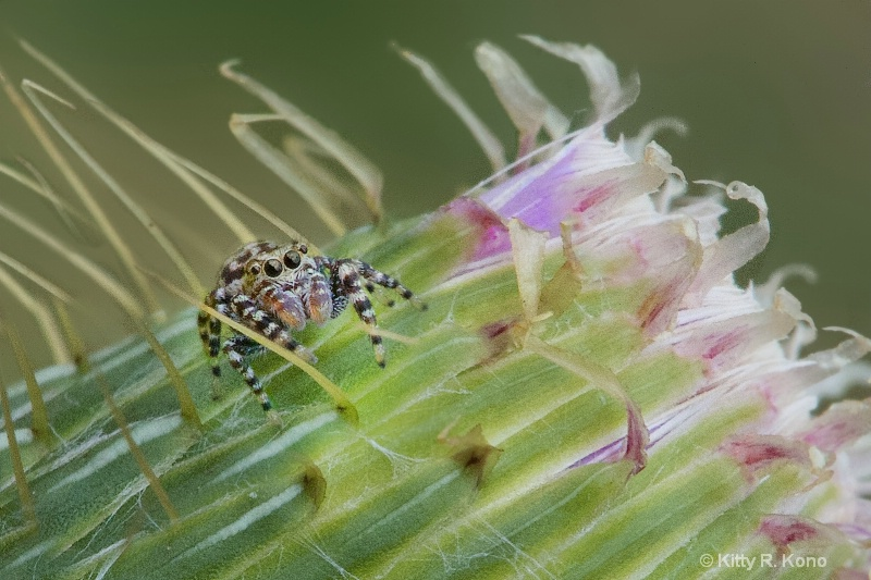 Little Brown Jumping Spider on Thistle