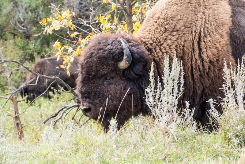 Buffalo on South Dakota Range