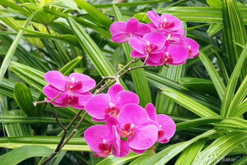 Triple Phalaenopsis