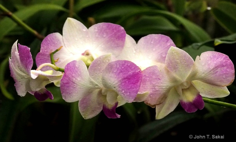 Spread Orchids
