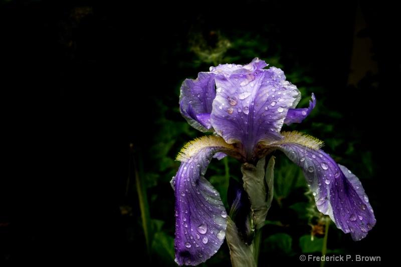 Single Iris-2311