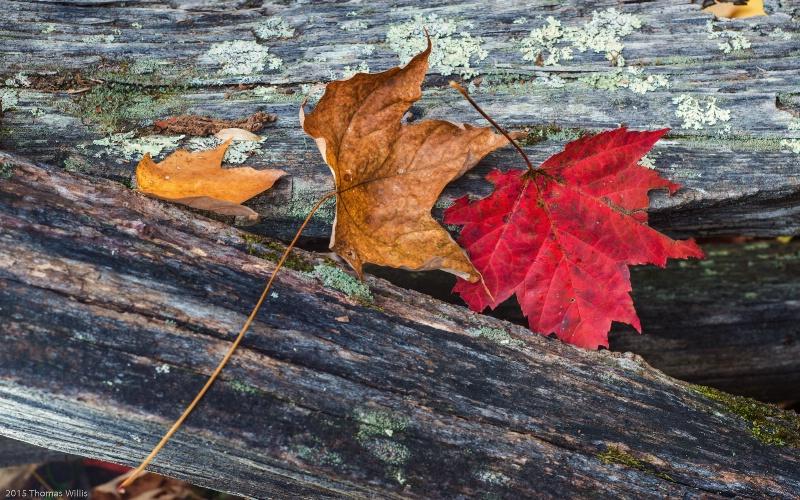 Leaves on split rail fence