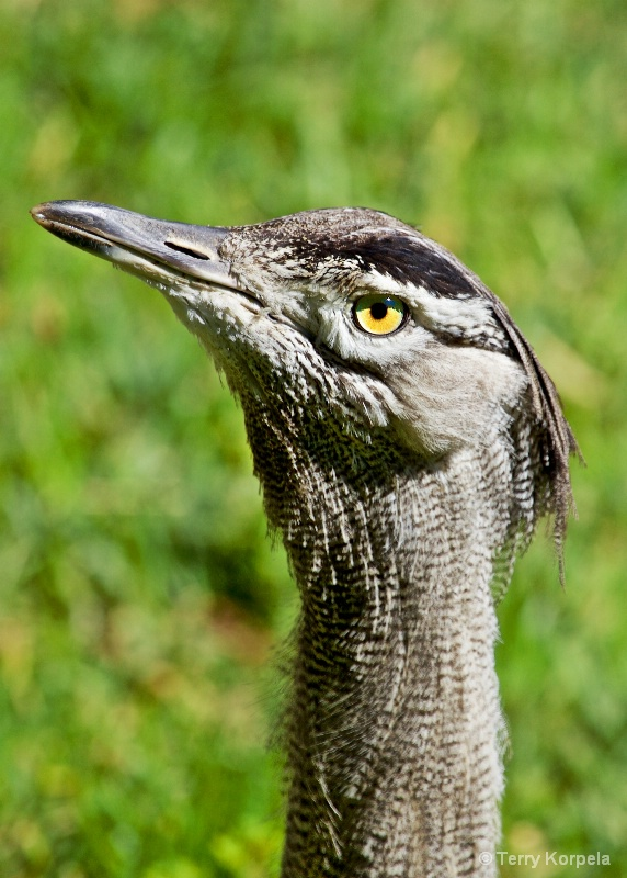 Kori Bustard (female)