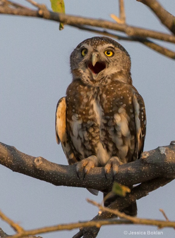 Pearl-spotted Owlet Calling