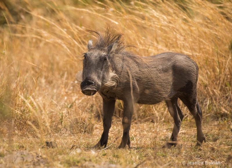 Wind-blown Warthog