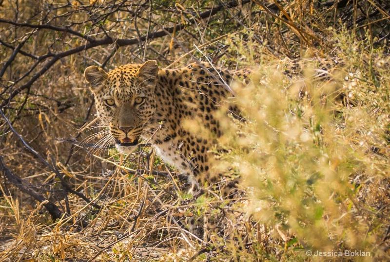 Peeking Leopard