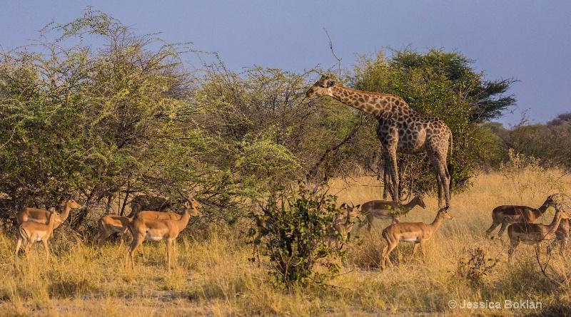 Giraffe with Impalas
