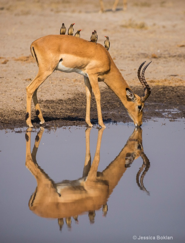 Impala with Ox-peckers
