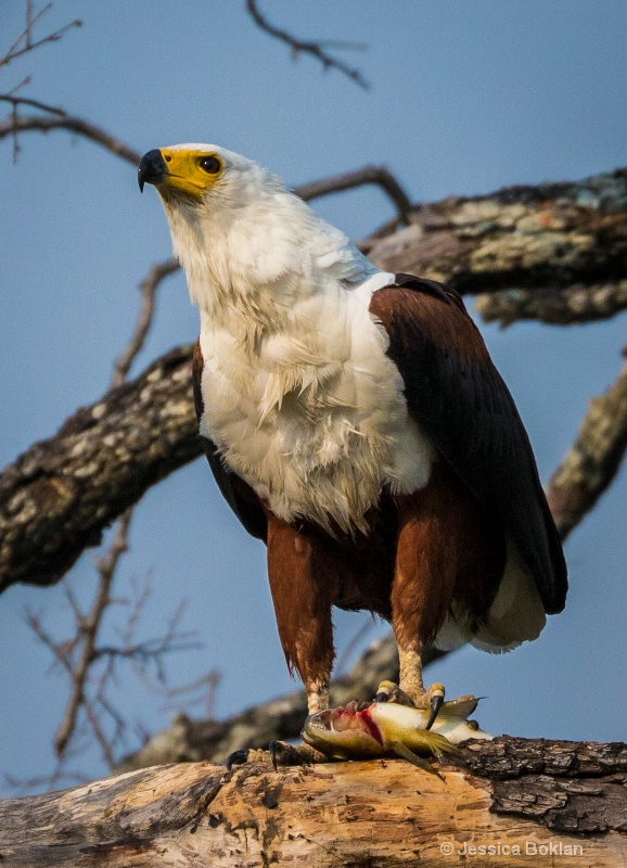 Fish Eagle with Tilapia