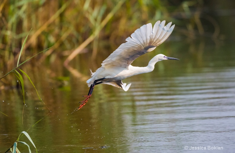 Red-footed Little Egret