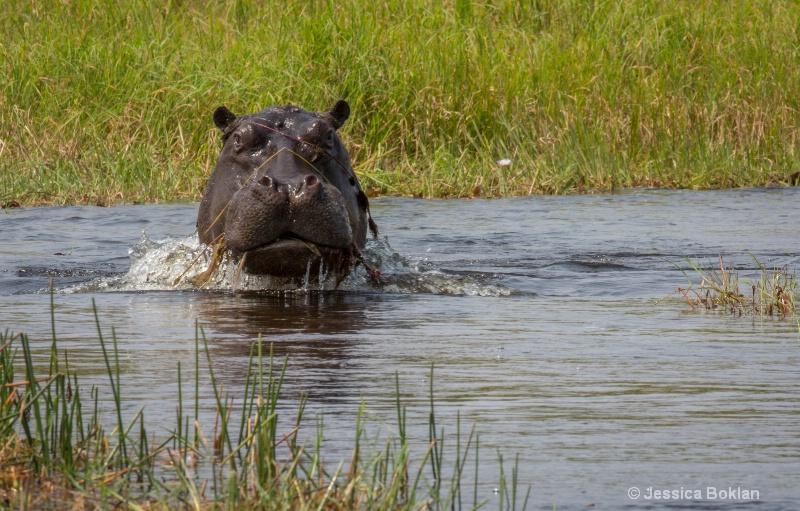 Charging Hippo