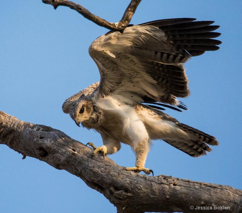 Marshall Eagle Juvenile