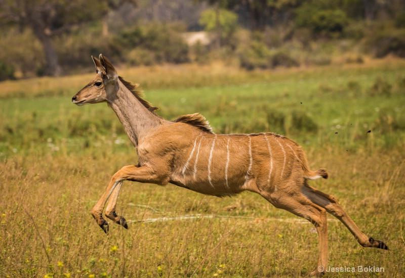 Leaping Kudu