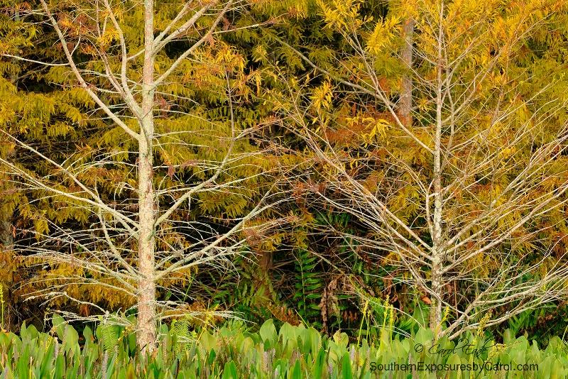 Autumn Bald Cypress