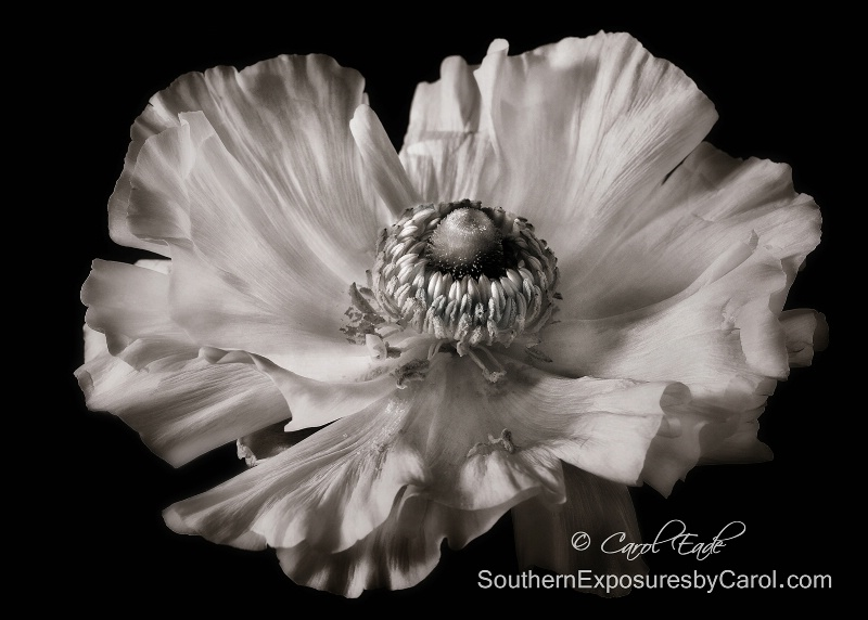 Ranunculus in Monochrome