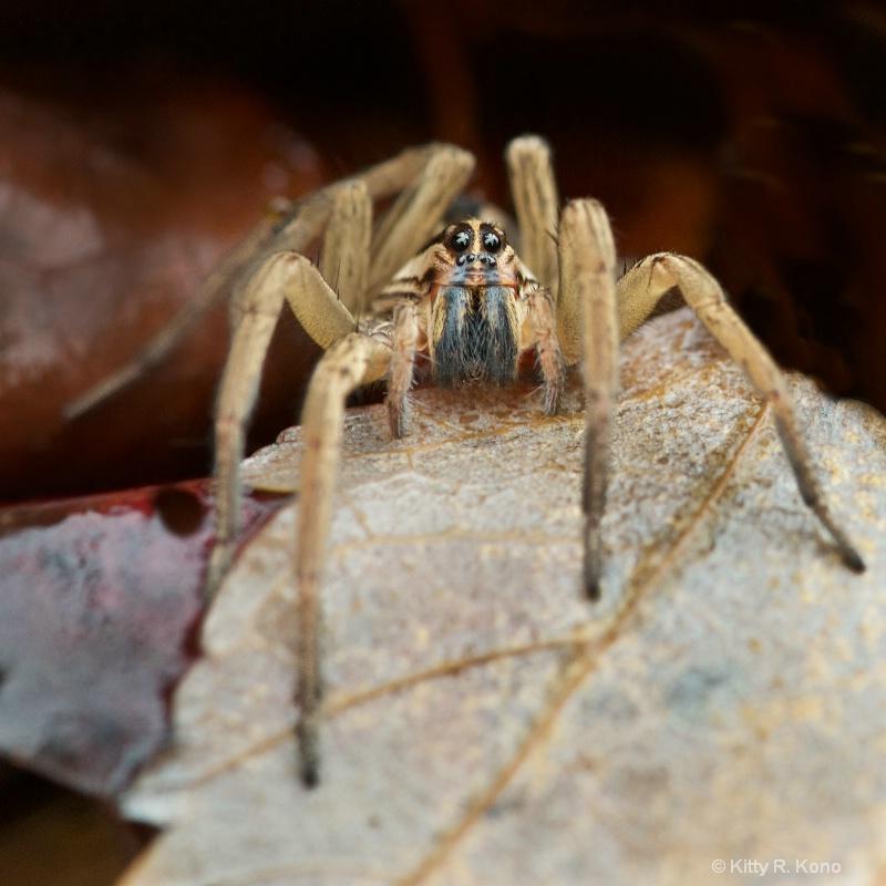 Nursery Spider Needing a Shave