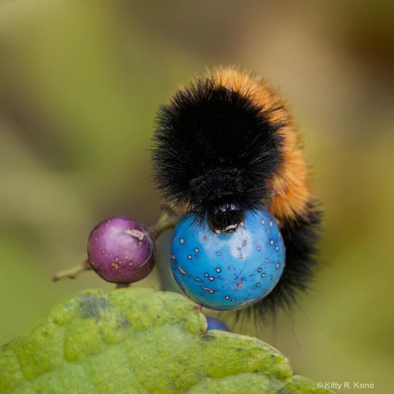 Wooly Bear Caterpillar Playing Ball