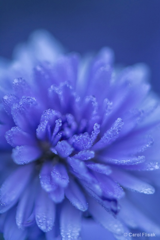 Aster Blues
