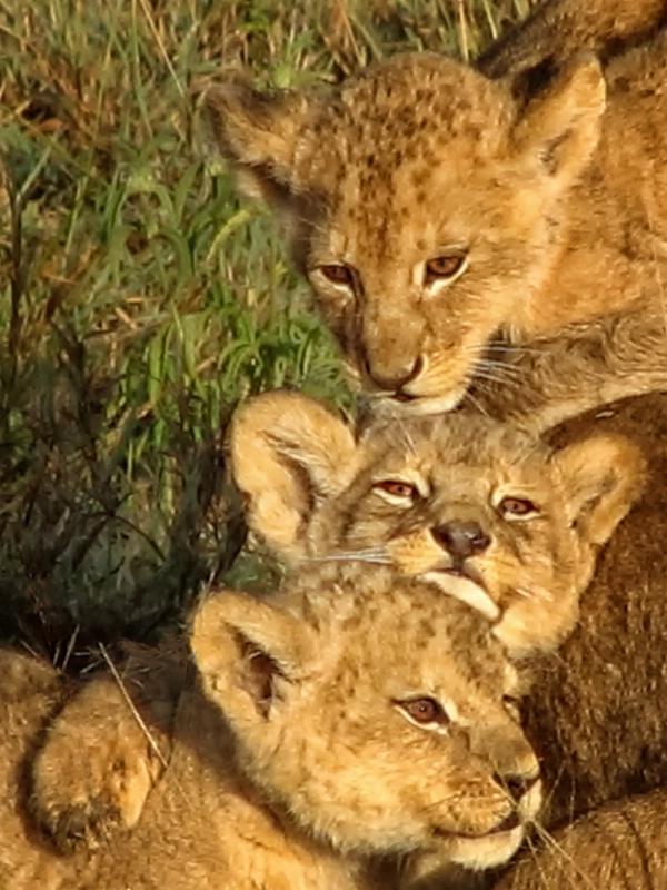Triplet Cubs  4263