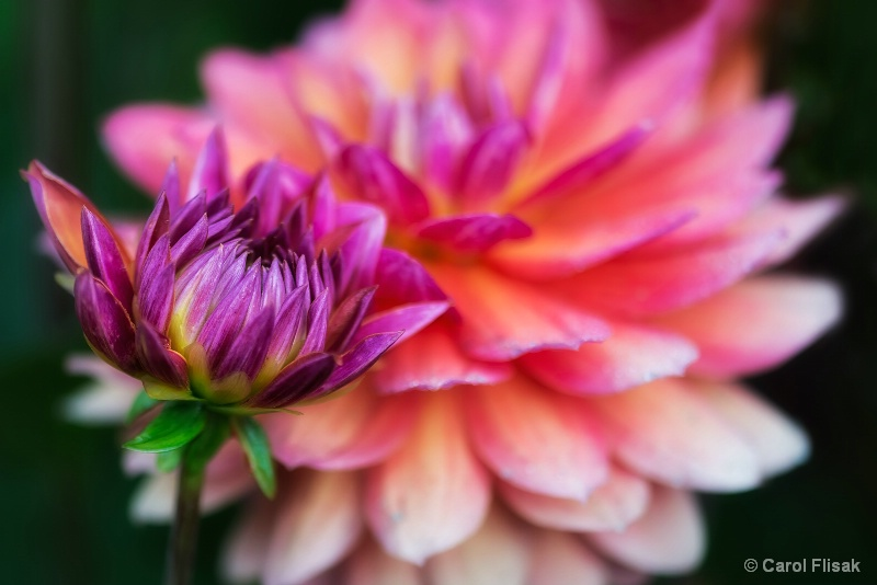 Dahlia Bud and Bloom