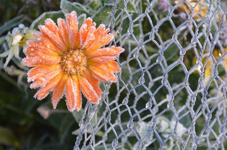 Frozen Flower 2