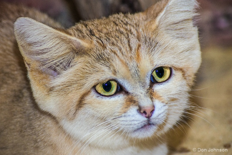 Sand Cat 12-12-15 103