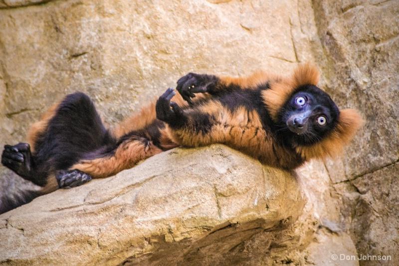Lounging Lemur 12-12-15 014