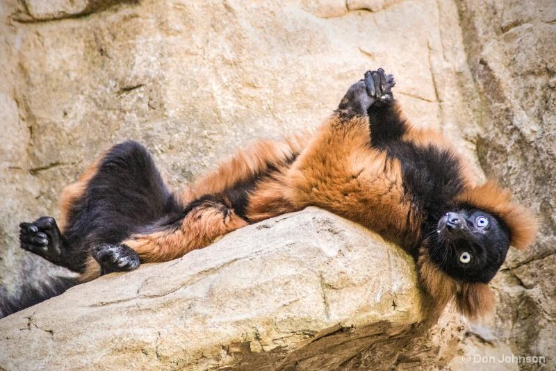 Lemur Repose 12-12-15 020