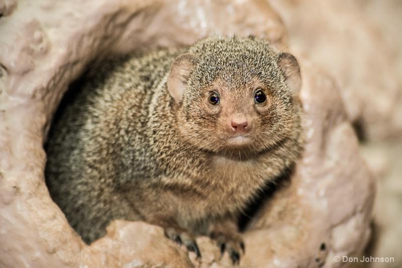 Dwarf Mongoose 12-12-15 162