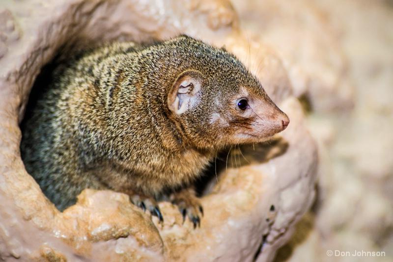 Dwarf Mongoose Profile