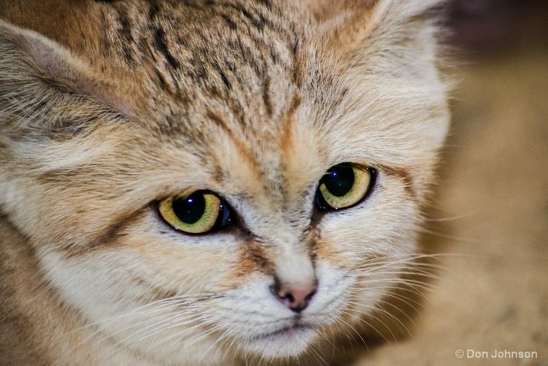 Sand Cat Close-Up 12-12-15 099