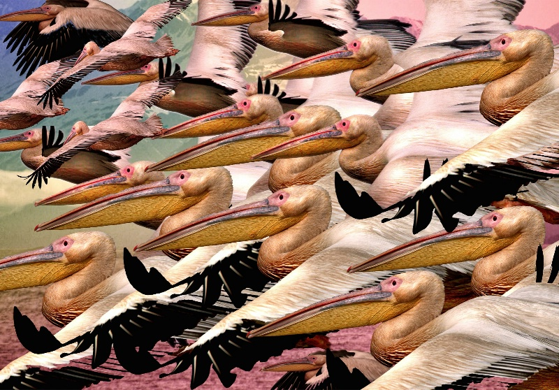 Maurauding Flock O'Pelicans