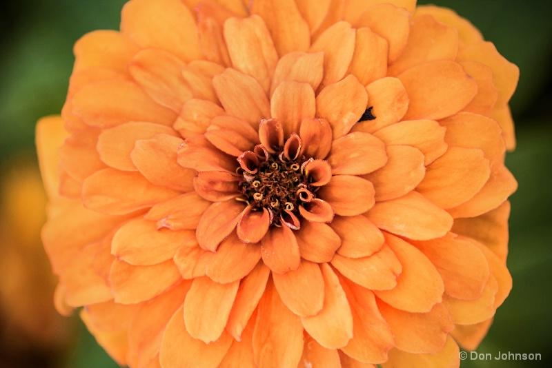 Orange Zinnia 8-13-15 090
