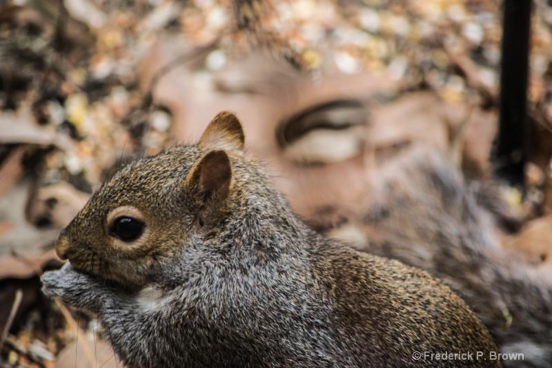 Squirrel 1-1-1