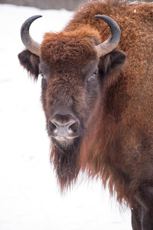European Buffalo