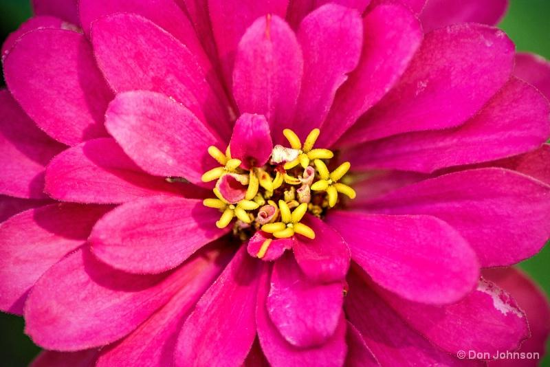 Dark Pink Monastery Zinnia 8-13-15 097