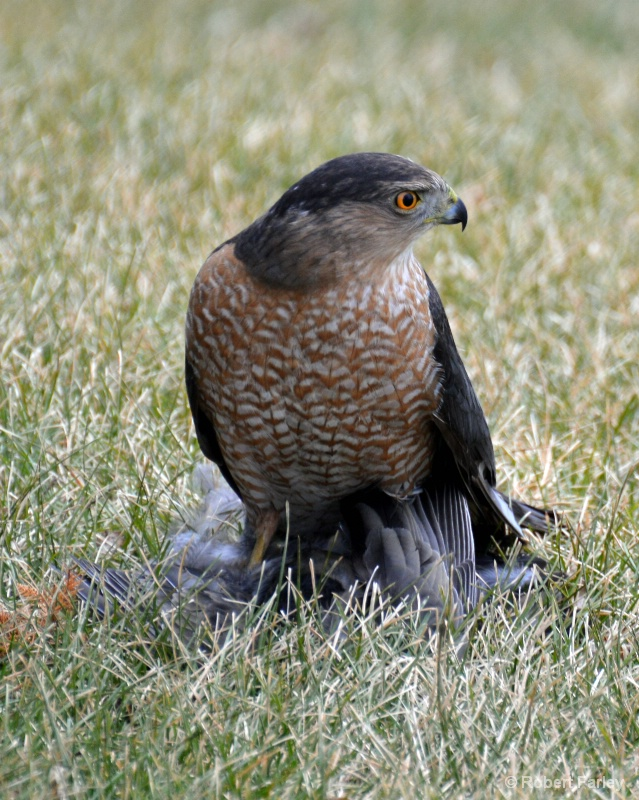 hawk on prey