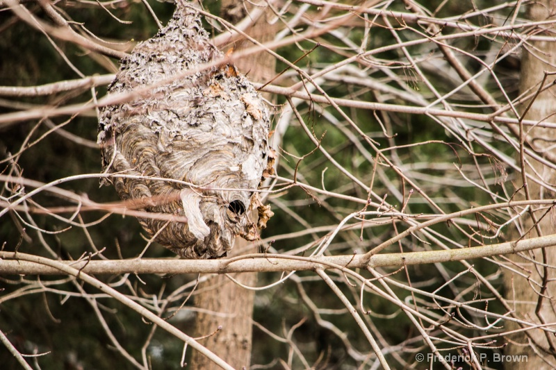 Bald-faced hornet nest 1 -1-1